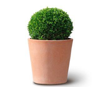 Buchsbaumkugel im Terracotta Topf